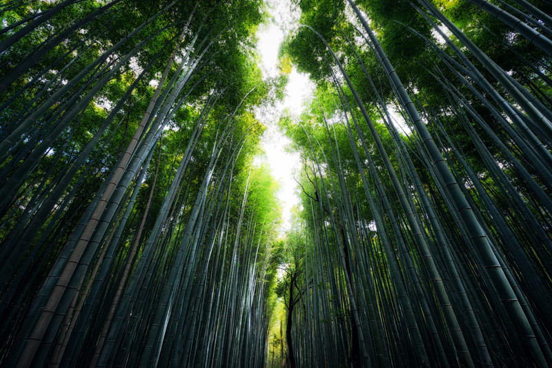 Looking up at the Kyoto Bamboo Forest from Spring 2014 Japan.